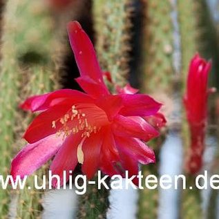Aporocactus flagelliformis-Hybr. `Rolfs Beste`