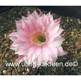 Echinopsis-Hybr. `Dolores` Rheingold 266