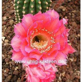 Echinopsis-Hybr. `Karo Bube` Rheingold 243