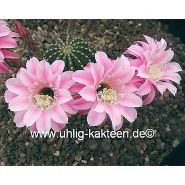 Echinopsis-Hybr. `La Paloma` A` Rheingold 296