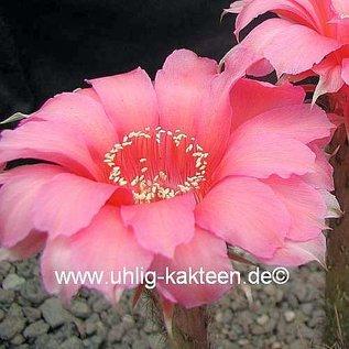 Echinopsis-Hybr. `Love Story` Rheingold 230