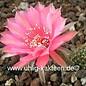 Echinopsis-Hybr. `Materna` Rheingold 270
