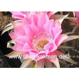 Echinopsis-Hybr. `Melodie` Rheingold 217