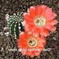 Echinopsis-Hybr. `Niederrhein` Serie 368 (Ue: 3232)
