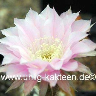 Echinopsis-Hybr. `Orion` Rheingold 288