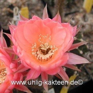 Echinopsis-Hybr. `Palpa` Serie 352