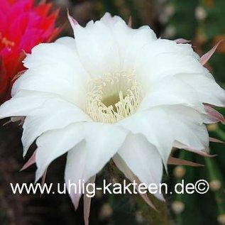 Echinopsis-Hybr. `Pik As` ?
