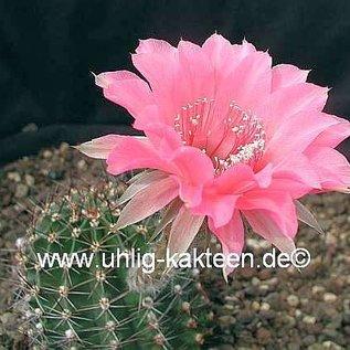 Echinopsis-Hybr. `Pop Star` Rheingold 231  Rheingold 231 Blüte pink