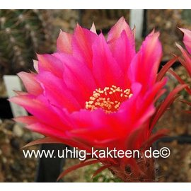 Echinopsis-Hybr. `Roth 62`