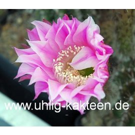Echinopsis-Hybr. `Stars and Stripes` ?