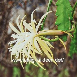 Epiphyllum-Hybr. Agathe Paetz