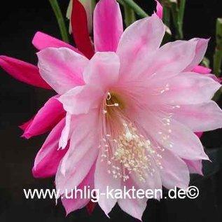 Epiphyllum-Hybr. `Daisy Dean`