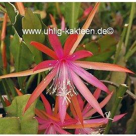 Epiphyllum-Hybr. Diana Paetz (Nicole Paetz x Disoc. Lau 1263)