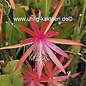 Epiphyllum-Hybr. `Diana Paetz`  (Nicole Paetz x Disoc. Lau 1263)