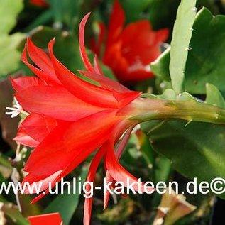 Epiphyllum-Hybr. `Felix Paetz`