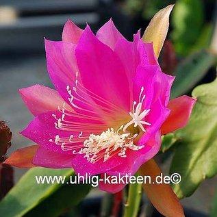 Epiphyllum-Hybr. Gitti Paetz (Mylady x Nayada)