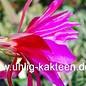 Epiphyllum-Hybr. `Jolly Rogers`