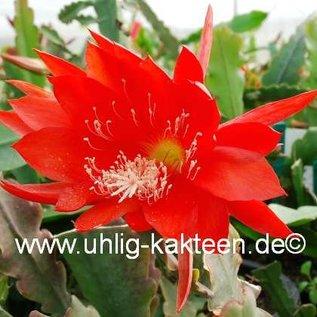 Epiphyllum-Hybr. `Juwel`