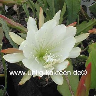 Epiphyllum-Hybr. `Katydid`