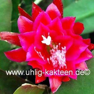 Epiphyllum-Hybr. `Lacky Paetz`
