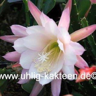 Aporophyllum-Hybr. `Loni Paetz`