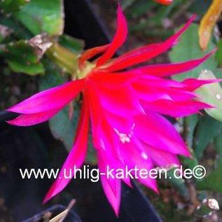 Epiphyllum-Hybr. `Marianne Paetz`