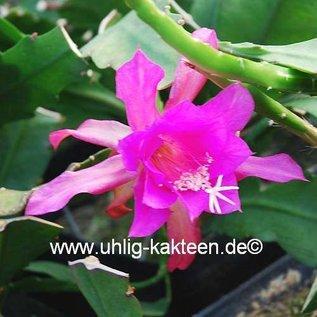 Epiphyllum-Hybr. Pepi Paetz (Nopalxochia phyllanthoides x Nayada)