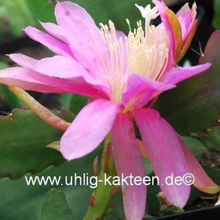 Epiphyllum-Hybr. School aire