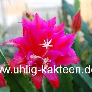 Epiphyllum-Hybr. Sonja Paetz (Lola Paetz x Gloria Paetz)