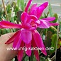 Epiphyllum-Hybr. Thunder Cloud