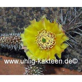 Opuntia hystricina-Hybr.  Franz Schenk`, Blüte gelb / yellow     (dw)