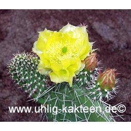 Opuntia hystricina-Hybr.  Helgoland`, Blüte gelb / yellow     (dw)