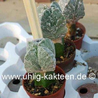 Astrophytum myriostigma  cv. `Hakuun` quadricostatum nudum  gepfr.