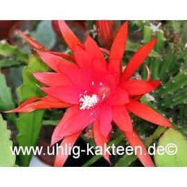 Aporophyllum-Hybr. `Ellen Paetz`