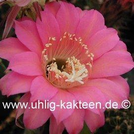 Echinopsis-Hybr. Passo CM 15 Ariyonne
