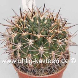 Pyrrhocactus spec.  Cabildo