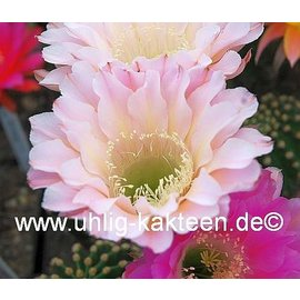 Echinopsis-Hybr. `Edwardian Lady`