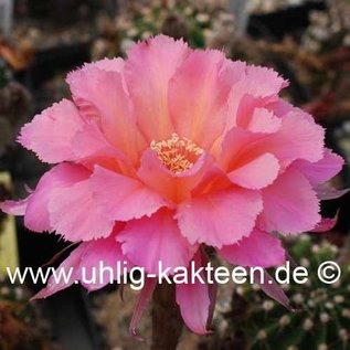Echinopsis-Hybr. `Sierra Skyline` Schick Hybride   Schick Hybride  Blüte rosa-orangegelb