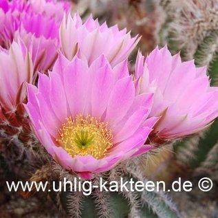 Echinocereus metornii   (Samen)