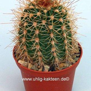 Echinopsis purpureopilosa  x bruchii