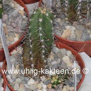 Echinocereus scheeri    La Bufa, Chih.