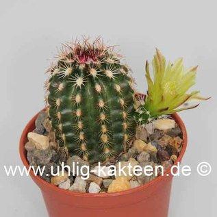 Echinocereus viridiflorus  ssp. chloranthus  (syn. chloranthus)