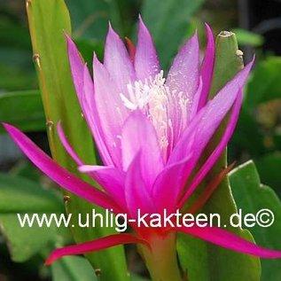 Epiphyllum-Hybr. `Bella Paetz`   Blüte rosa