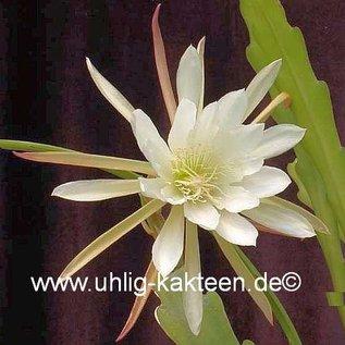 Epiphyllum-Hybr. Carol