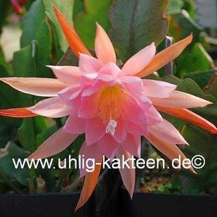 Epiphyllum-Hybr. Fair Annett