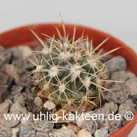 Ferocactus fordii v. borealis  (Semillas)