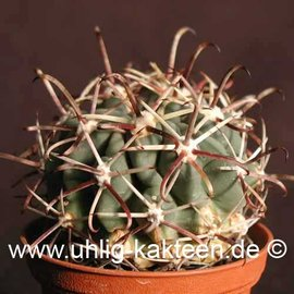 Glandulicactus mathsonii   (Samen)