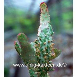 Opuntia vulgaris  f. variegata