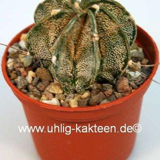 Astrophytum capricorne  fo. albispina