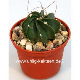Astrophytum capricorne v. niveum Cinegas